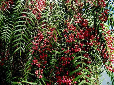 Pink Peppercorn Tree